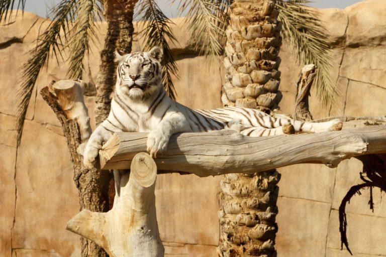 tiger-5194014_1920
